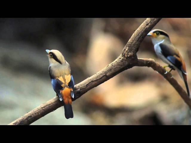 Silver-breasted Broadbill / Серогрудый рогоклюв / Serilophus lunatus