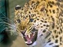 Voice leopard, leopard roar, scream leopard, leopard sound Рев леопарда, крик леопарда