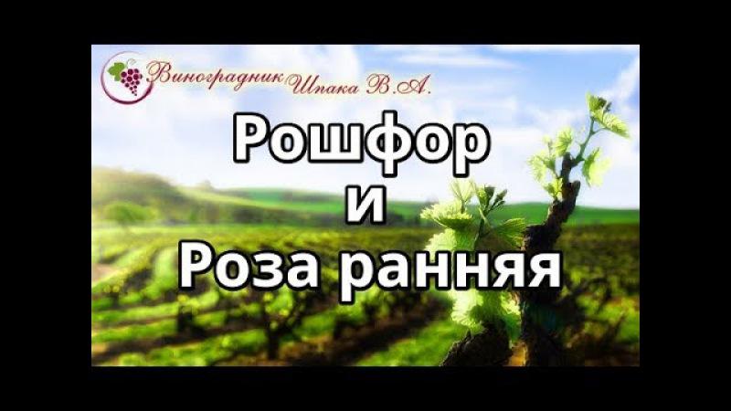 ВИНОГРАД РОШФОР И РОЗА РАННЯЯ.