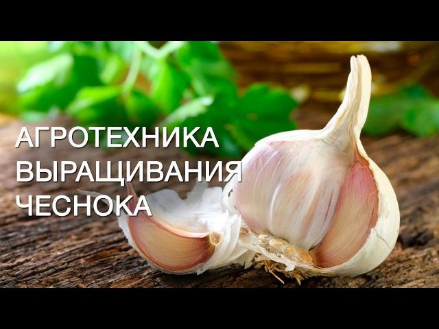 Механизированное выращивание чеснока