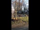 Индюшки провели необычный ритуал над умершем котом. В Бостоне индейки устроили хоровод вокруг мертвого кота, лежавшего на дорог