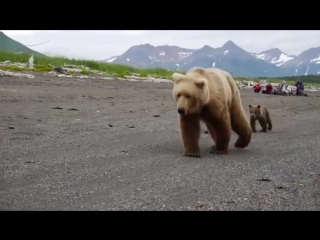 Медведица с медвежатами на побережье Тихого океана, Камчатка