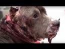 Собаки разорванные на собачьих боях. Питбуль Бетси.