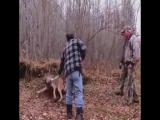 Спасение волка, просидевшего два дня в капкане