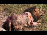 Male Lion Vs Male Lion - 2 Male Lions Kills Other Male Lion Wild Animal Fight To The Death