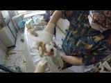 Фарингоскопия у собаки. Осмотр на предмет гипертрофии небной занавески. www.endovet.com