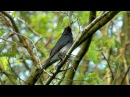 White-bellied drongo / Белобрюхий дронго / Dicrurus caerulescens
