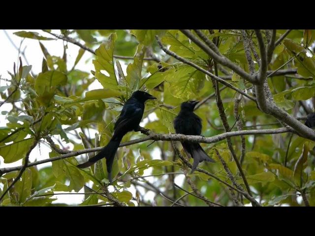 Mayotte Drongo / Майоттский дронго / Dicrurus waldenii
