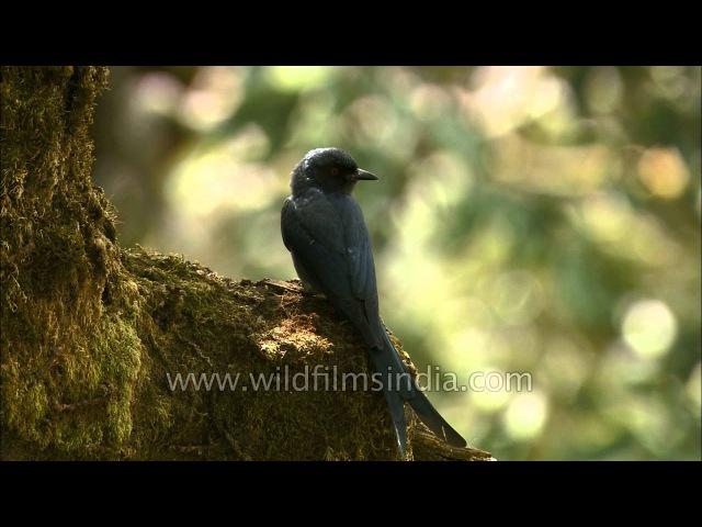 Ashy Drongo / Серый дронго / Dicrurus leucophaeus