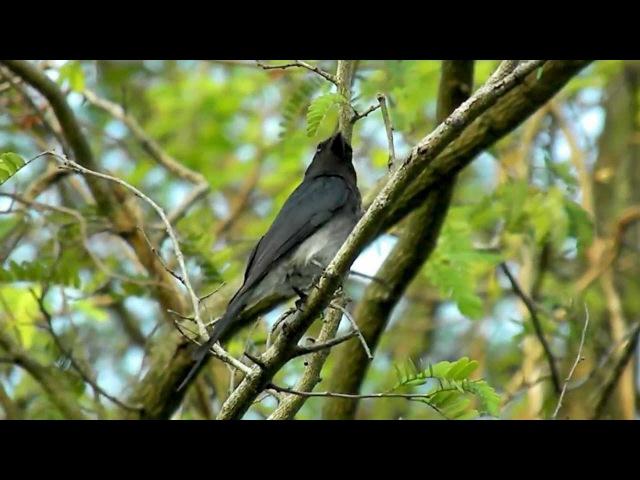 White-bellied drongo / Белобрюхий дронго / Dicrurus caerulescens