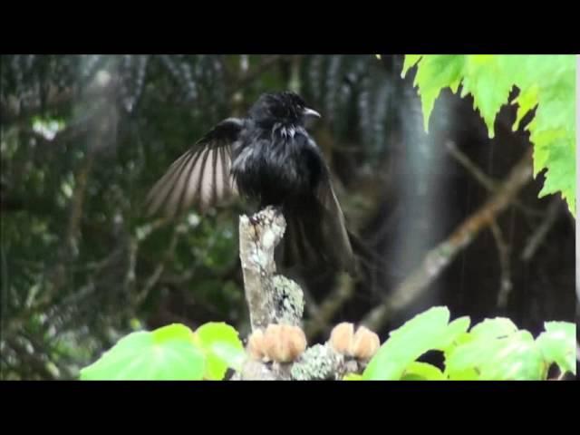 Fork-Tailed Drongo / Прямохвостый дронго / Dicrurus ludwigii