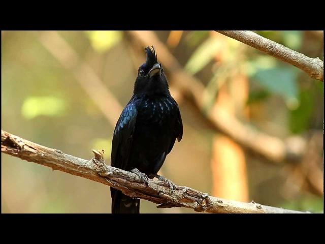 Greater Racket-tailed Drongo / Райский дронго / Dicrurus paradiseus