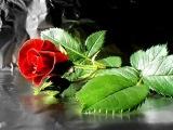 Червона ружа Red rose Ukrainian song В. жицький