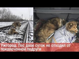 Ужгород. Пес двое суток не отходил от покалеченной подруги СЖ