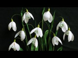 ABC TV | How To Make Snowdrop Paper Flower From Crepe Paper - Craft Tutorial
