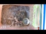Линька птицееда   Brachypelma albopilosum L9 → L10   Tarantula molting