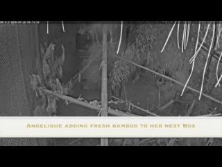 Aye-Aye Night Footage - Angelique Builds A Nest