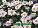 Бабкина Надежда и анс. Русская песня - Ромашки цветы(караоке, режим обучения)