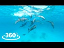 Wild Dolphins VR / 360° Video Experience