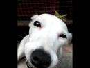 Собака-улыбака с кузнечиком на голове