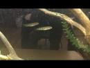 Змееголов глазчатый