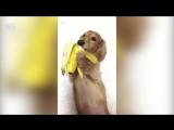 Собачка кушает банан - 720p