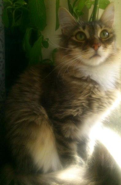 ИЩЕМ ОТВЕТСТВЕННЫХ ХОЗЯЕВ !  1) Тимофей ,крупный, кастрированный кот,