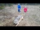 Timber Wolf Release 2017 John Oens
