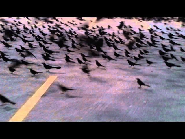 Grackles in Texas Parking Lots