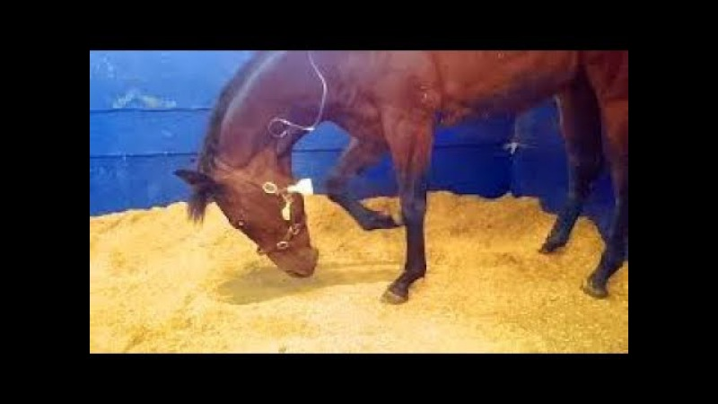 Что делать, когда у лошади колики / Qué hacer cuando nuestro Caballo tiene Cólico