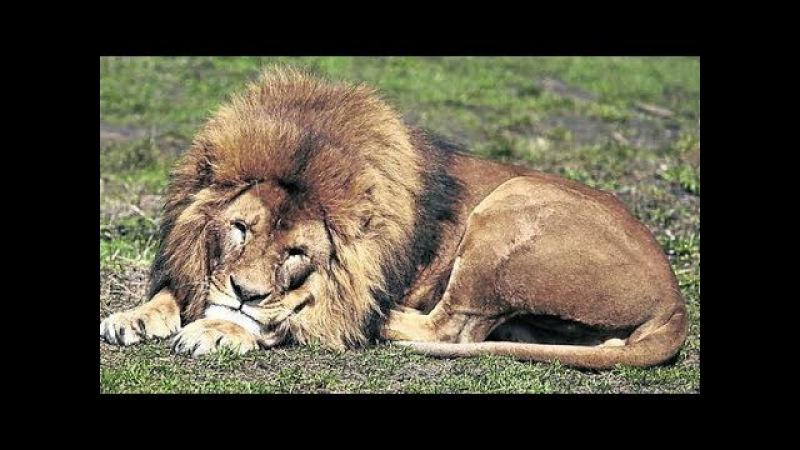 Чума плотоядных у льва (симптомы) / Infección por Moquillo (Distemer) en Leones Silvestres (imágenes fuertes)