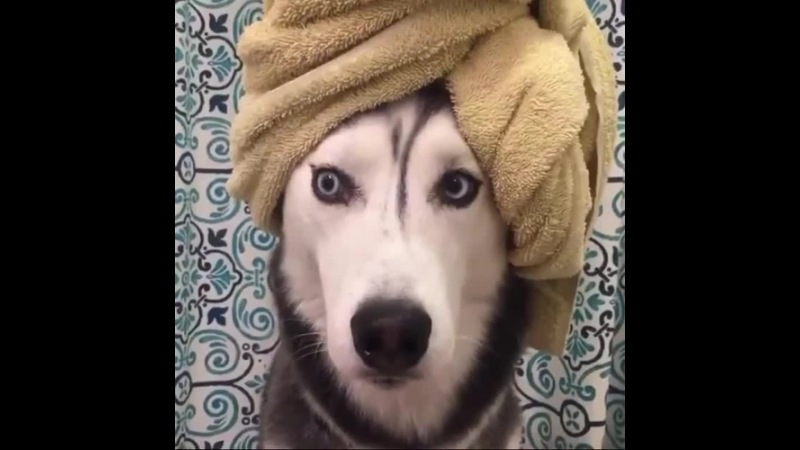 Contemplating if I really wanna go out tonight. 🤔 husky dogsofvine