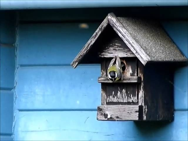 Great titmouse too fat to leave birdhouse - slow motion