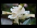 Букет из белых роз.mp4