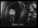 Carlot-ta The Barn Owl
