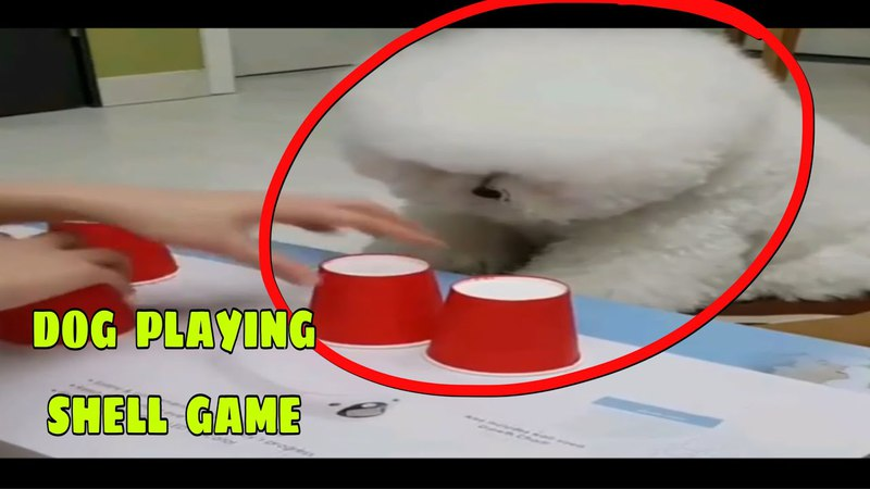 Hilarious Dog Plays Shell Game Like A Human | The Cup Trick Genius News- Viral Pets Caught on Camera