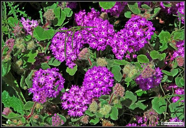 аброния аброния (abronia) – растение семейства никтагиновые. из большого многообразия природных видов в культуре распространено лишь два вида: аброния зонтичная и аброния широколистная. это