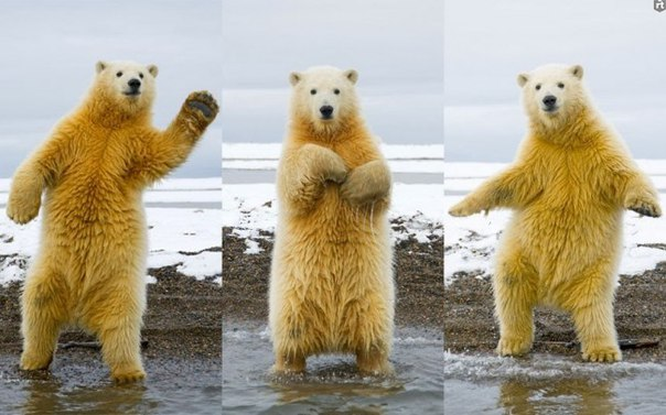 Сегодня во всём мире отмечается Международный день полярного медведя.