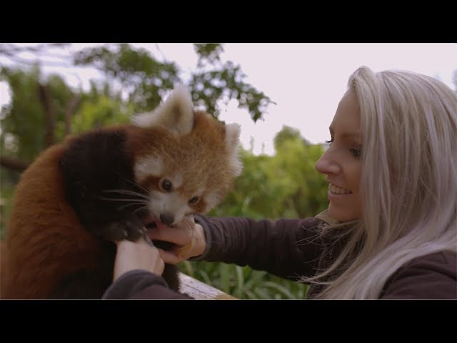 This Red Panda Cub loves belly tickles