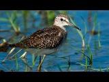 Фифи (птица) - Wood sandpiper