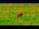 Лисица на охоте (fox hunting)