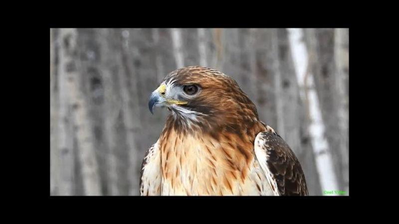 Краснохвостый сарыч ест добычу (Red tailed hawk)