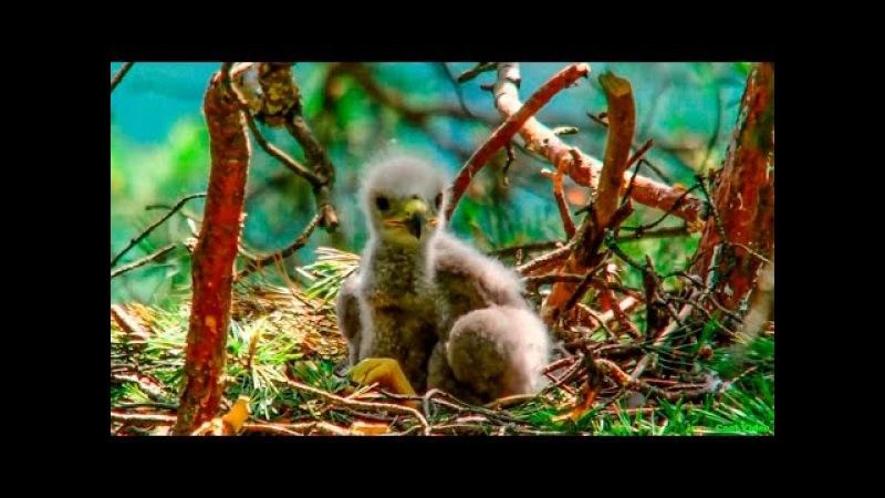 Птенцы хищной птицы Обыкновенный канюк