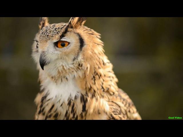 Филин (Bubo bubo) - кормление хищной птицы