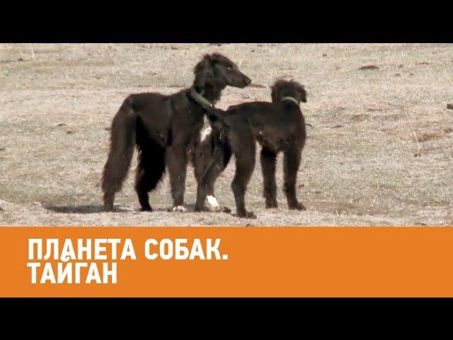 Тайган. Планета собак 🌏 Моя Планета