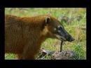 Каракары и носухи борются за двоякодышащую рыбу (Caracara And Coati Fight Over Lungfish Feast)