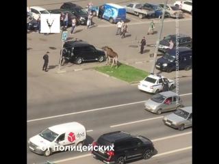 Попытка полиции поймать лося на юго-востоке Москвы