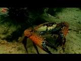 Краб гоняет сомиков на искусственном рифе у острова Ко-Лан | Дайвинг в Паттайе