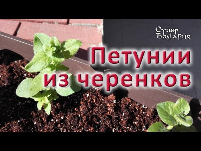 Размножение петуний черенками. Жизнь в Болгарии. Весна 2017