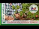 Томатные секреты Поросль на помидорах